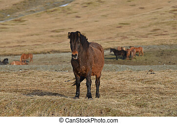 Icelandic Horse Standing in a Field