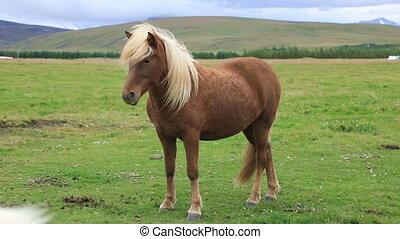 Icelandic horse standing in the field