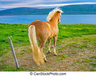 Icelandic horse standing on the grass field