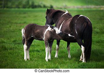 Beautiful Icelandic horses in a rocky green meadow