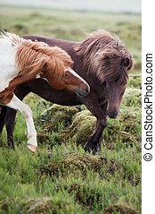 Icelandic Horses - Beautiful Icelandic horses in a rocky...