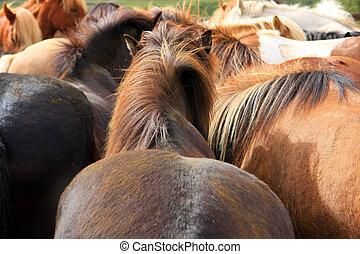 Icelandic horses - Close up of a herd of icelandic horses...