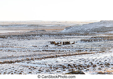 Icelandic horses graze in a field covered with snow in winter.