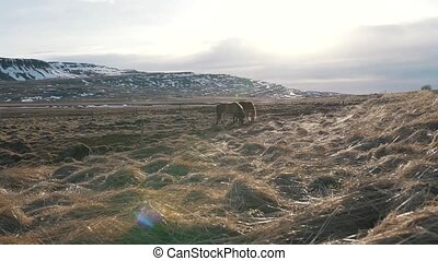 Icelandic horses graze in the valley close up.