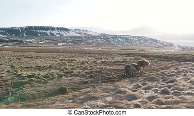 Icelandic horses graze in the valley.