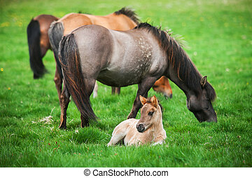 Icelandic beautiful horses graze on a green meadow