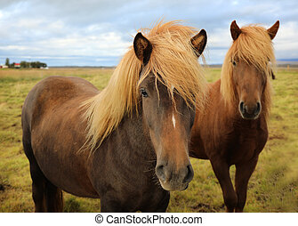 Icelandic horses grazing in the field