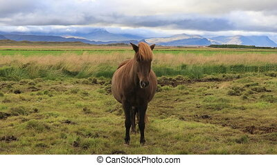 Icelandic horses grazing in the field - Beautiful Icelandic...