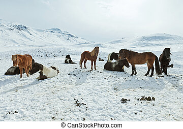 Icelandic Horses in their winter coat - A herd of free-...