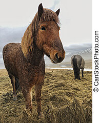 Icelandic horses on a meadow in Iceland