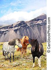 Icelandic Horses on Iceland nature landscape