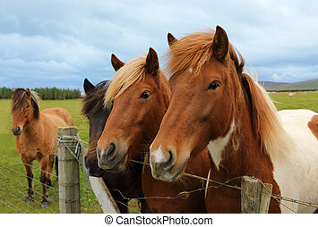Icelandic horses on the paddock