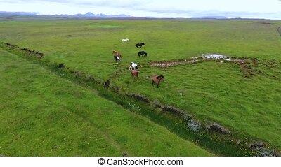 Icelandic horses walk through the fields. Andreev.