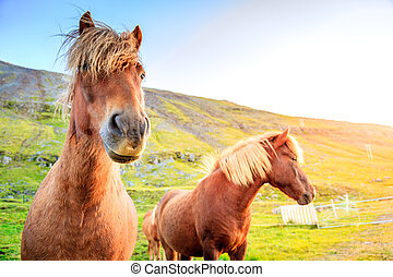 Icelandic ponies - Icelandic Ponies on a farm in Iceland