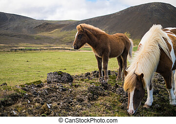Icelandic pony and horse in the pasture