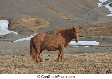 Icelandic Pony Standing in a Field