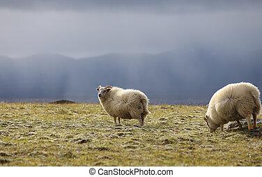 Icelandic sheep grazing on high meadows
