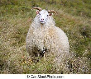 Icelandic Sheep - Iceland - An Icelandic sheep near Hofn in...