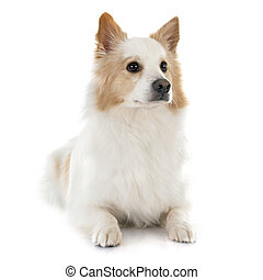 Icelandic Sheepdog in front of white background