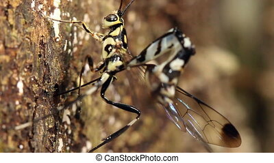 Ichneumon wasps mating - On a tree trunk in the Ecuadorian...