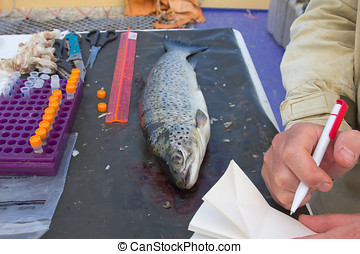 ichthyology of a salmon - icthyological researches of a...