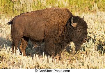 iconic buffalo