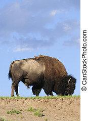 iconic North American buffalo