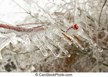 Icy branch from a maple tree after a winter ice storm