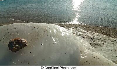 Icy Coast With Seashell of Rapana