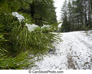 Icy snow lies on a pine branch. Water droplets are visible at the tips of the needles. Next to the trees, a snow-covered forest road is visible. Winter forest background.