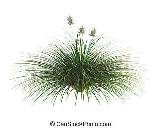 Idaho fescue or Festuca idahoensis - Idaho fescue or latin...