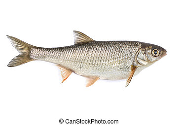 Ide - Fish ide, isolated on white background