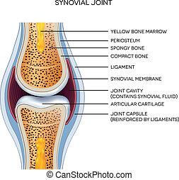 identificato, articolazione, anatomy., normale,...