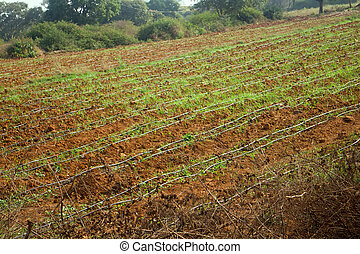Idian farm, growing flowers in the open ground (drip irrigation), Stretched thin hoses