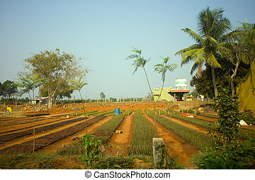 Idian farm, growing flowers in open ground (floriculture). Spring, germination of plants, palms