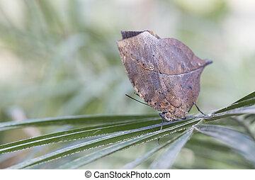Idian Leaf Butterfly