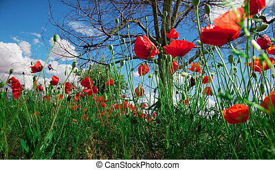 field of poppies - Idilic image of field of poppies