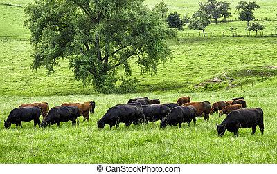 idilliaco, paesaggio verde, con, pascolo, mucche