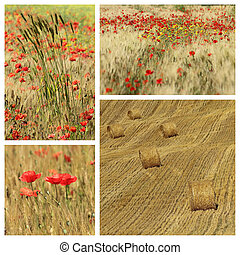 idyllic images with poppies in tuscan countryside