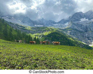 Idyllic landscape in the Alps with brown cows graze at fresh green meadows, snowcapped mountain tops in the background. Nationalpark Nationalpark Grosser Ahornboden Eng-Alm. Tyrol, Austria
