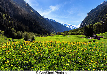 Idyllic mountain landscape in the Alps with yellow flowers and green meadows. Stilluptal, Austria, Tyrol.