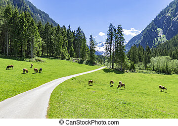 Idyllic mountain landscape with cows grazing in the Alps