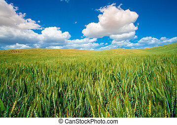 rural landscape with farm wheat fields and blue sky