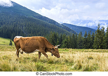 Idyllic view of nice brown cow grazing in green pasture field fresh grass on bright sunny day. Magnificent mountains in distance, blue sky,white clouds. Farming and agriculture.