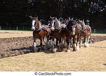 igáslófajta, szántás, ló, befog, hat