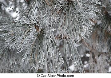igły, w, śnieg, (canadian, winter)