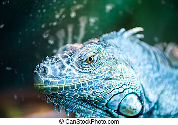 iguana, マクロ, トカゲ