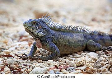 iguana, マリー, 浜, curacao, 港