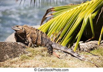 iguana, 浜, アメリカ, 中央である, 岩