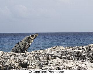 iguana, 海洋